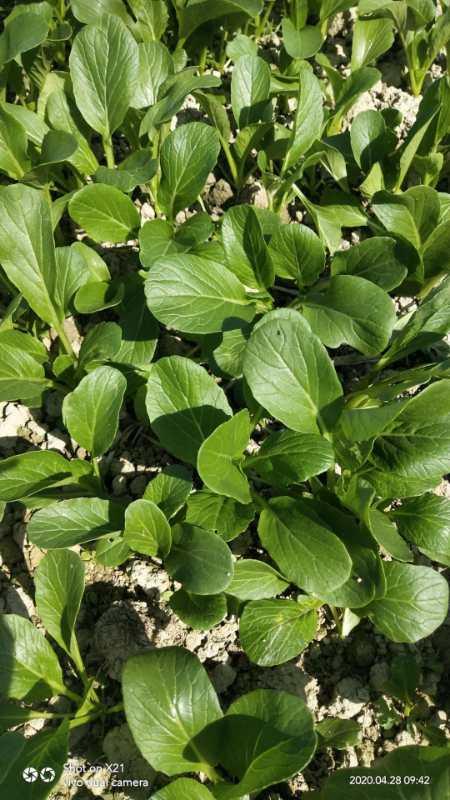 中環生物有機肥料在菜心種植上的使用效果